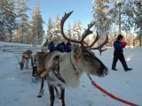 Safari to Reindeer farm by snowmobile